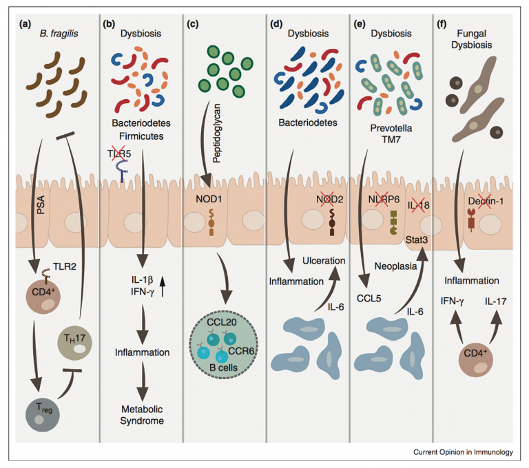 The interplay between the innate immune system and the microbiota (Current Opinion in Immunology)