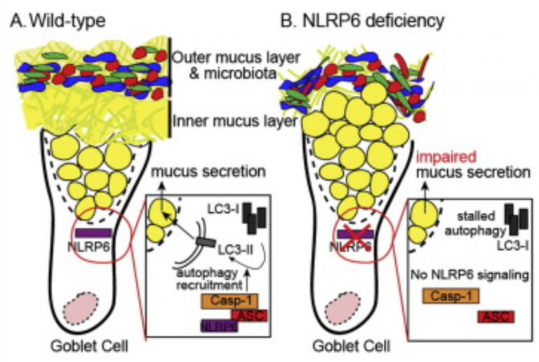NLRP6 inflammasome orchestrates the colonic host-microbial interface by regulating goblet cell mucus secretion (Cell)
