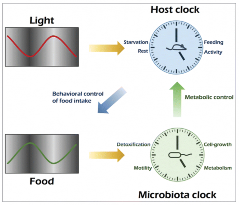 A day in the life of the meta-organism: diurnal rhythms of the intestinal microbiome and its host (Gut Microbes)