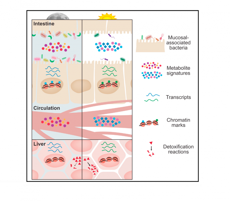 Microbiota Diurnal Rhythmicity Programs Host Transcriptome Oscillations (Cell)